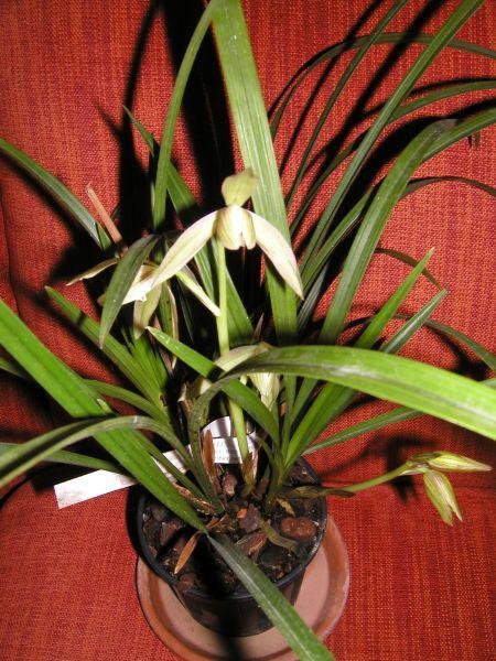 Cymbidium for Orchidee da esterno