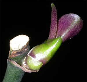 Phalaenopsis le sorprese di andrea for Orchidea fioritura