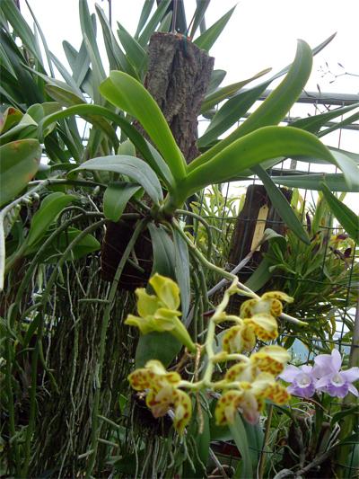 Coltivare le orchidee su zattere e tronchetti for Semi orchidea
