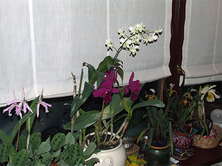 Orchidee in casa for Orchidee in casa
