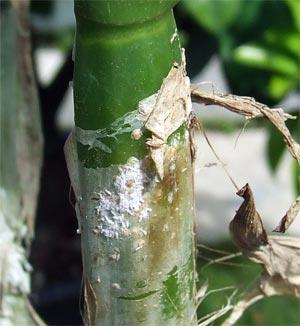 orchidee e cocciniglia