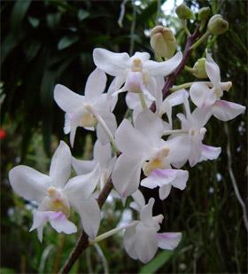 http://www.orchids.it/img_up/vanda_amesiana.jpg
