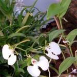 <i>Oeonia oncidiflora</i>
