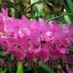 Ascocentrum ampullaceum fiori