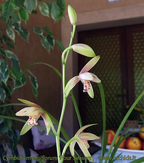 Cymbidium Ensifolium Orchid Cymbidium Ensifolium